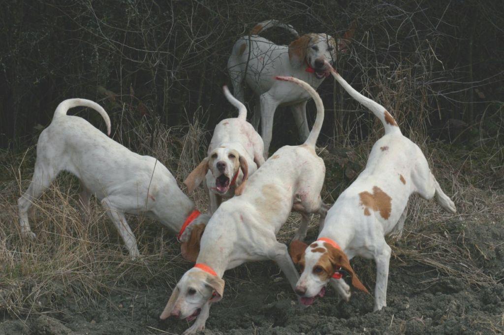 Extrem Différentes races de chiens de chasse - FDC69 XL98