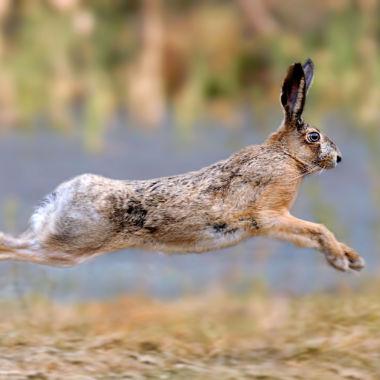 Brevet de chasse sur lièvre à CHIROUBLES